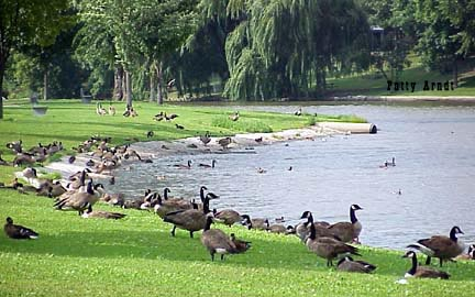 Canadian Geese at Silver Lake